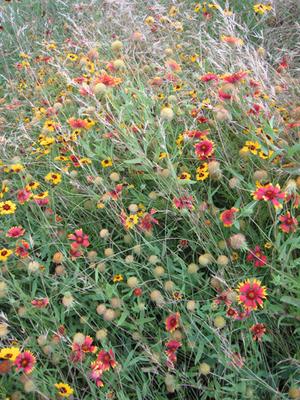 Agavewildflowers